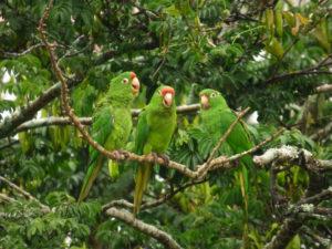 Psittacara finschi aka Crimson Fronted Parakeet